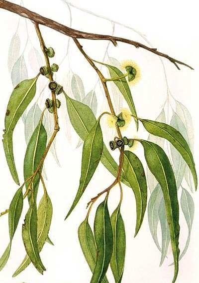 Eucalyptus Citriodora Essential Oil